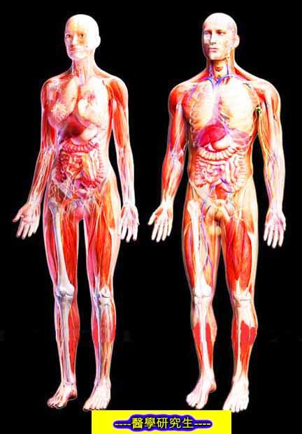 屍體解剖-------人體的骨骼