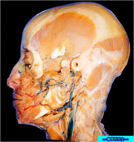 屍體解剖-------頸部