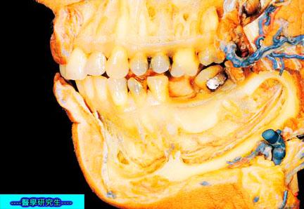 屍體解剖-------牙齒,下顎