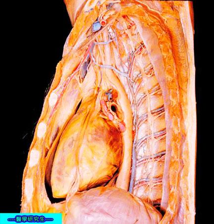 屍體解剖-------內腔
