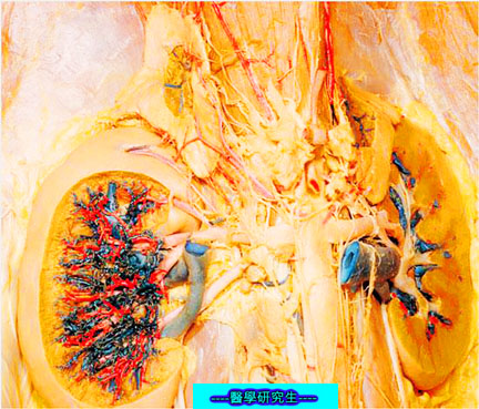 屍體解剖-------腎臟