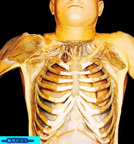 屍體解剖-------胸骨